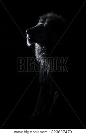 Silhouette of an adult lion male with huge mane resting in the darkness artistic conversion