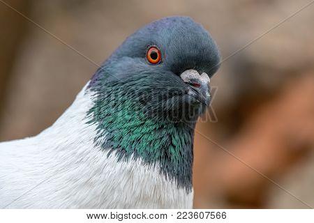 Detail Portrait Of A Pigeon