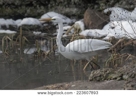 A Great white heron Ukraine 2018 Wildlife scene from nature. Heron with snow in the nature habitat. Cold snowy winter in Europe. Wild Animals.