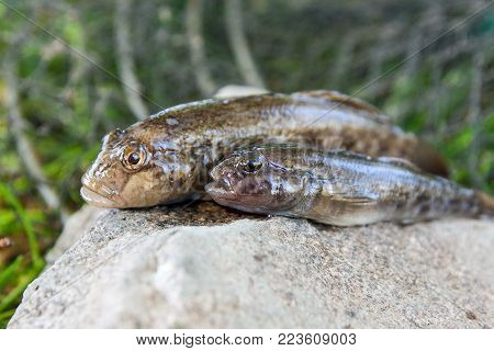 Freshwater Bullhead Fish Or Round Goby Fish Just Taken From The Water On Wooden Background.