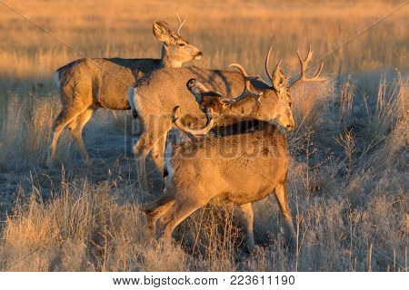 Wild Deer In the Colorado Great Outdoors - Mule Deer Bucks Greet the New Day