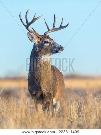 Wild Deer In the Colorado Great Outdoors - White Tailed Buck