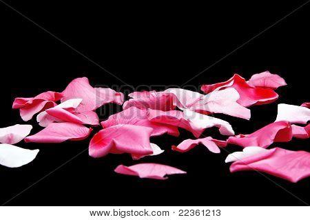 Pink Petals on Black