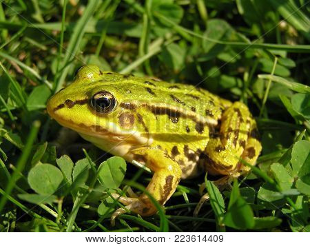 A small green with dark spots frog sits in green grass