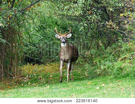 Buck deer looking ahead in the green forest