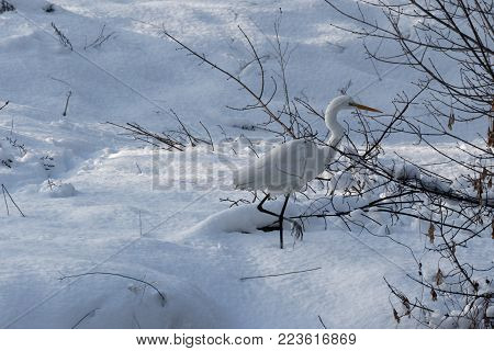 A Great white heron Ukraine. 2018. Wildlife scene from nature. Heron with snow in the nature habitat.  Wild Animals. Cold snowy winter in Europe.