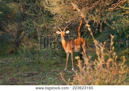 springbok antelope in the bush next to a branch