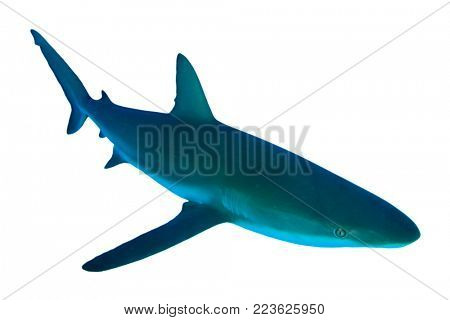Shark isolated. Grey Reef Shark cutout on white background