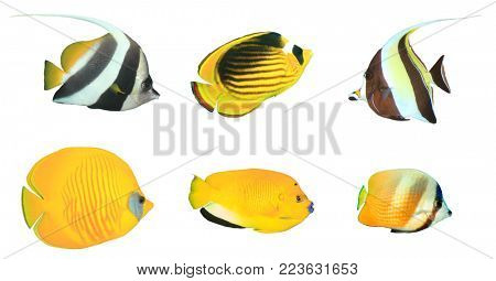 Tropical reef fish isolated. Butterflyfish, Bannerfish and Angelfish cutout white background