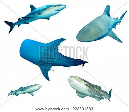 Shark species isolated. Grey Reef, Bull, Whale, Whitetip Reef and Leopard Sharks cutout on white background