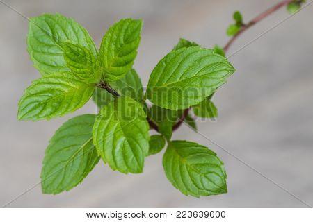 Closeup of homegrown Carinthian mint (Kaerntner Mint) with blurred background (Mentha carinthiaca )