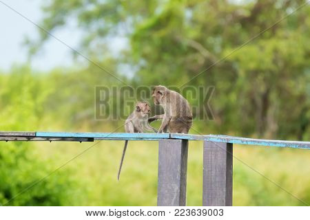 Long-tailed Macaque Mother monkey showing love affection to a young baby monkey  (Crab-eating macaque) on wooden board with blurred green forest background (Macaca fascicularis)