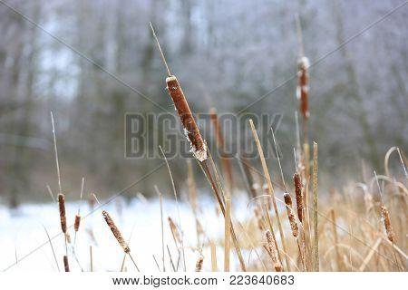 Cane on bog in winter time