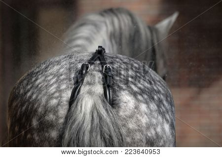 Back view of dapple-gray horse. Close up croup whis black crupper.