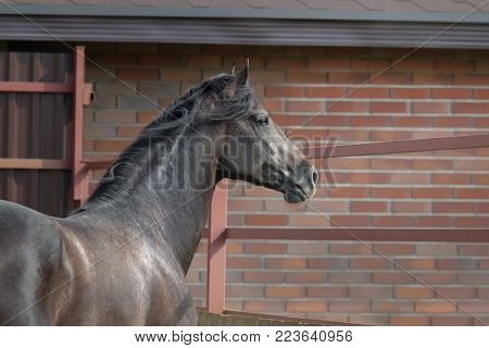 Young spanish horse stands in paddock near stables. Side view.