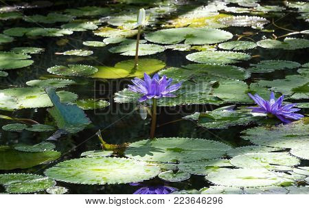 The blue water lilies seen on Martinique island, French West Indies.