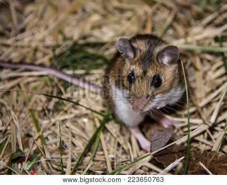 Night photo of the nocturnal wild house mouse or Mus musculus.  The rodent is standing on his haunches, facing the camera.  He is standing on brown and green matted grass.