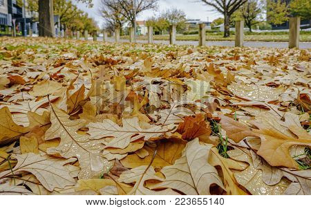 Canberra, Australia - Apr 26, 2017: Oak leaves in autumn colors fallen by the roadside along National Circuit, Canberra, Australia. An overcast day, with water droplets on some leaves.