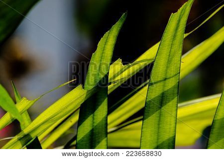selective focus of leaves of sealing wax palm or lipstick palm in the sunlight and shade, light and shadow on palm leaves can be used as background