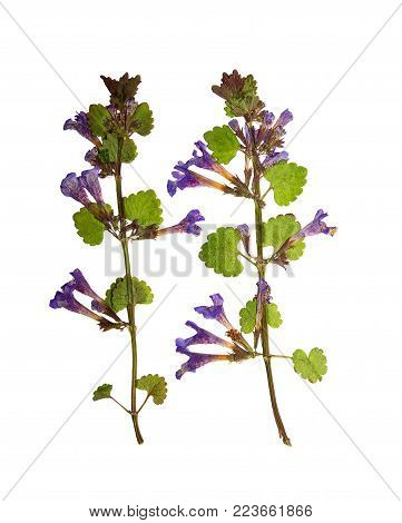 Pressed and dried flowers glechoma hederacea on stem with green leaves.  Isolated on white background. For use in scrapbooking, pressed floristry or herbarium