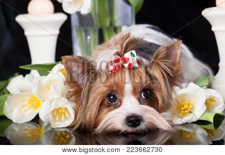 Puppy of a Biewer Yorkshire Terrier