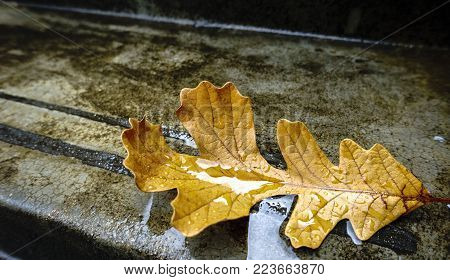 An oak leaf with autumn color fallen onto concrete step, covered by rain water. The leaf highlights an intricate network of main and minor vein structures.