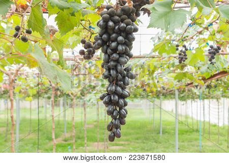 Black grapes in grape garden or vineyard. Black grapes with green leaf. Black grape vineyard in sunshine day. Ripe black grape for health  or diet center position