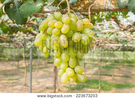 Green grapes in grape garden or vineyard. Green grapes with green leaf. Green grape vineyard in sunshine day. Ripe green grape for health or diet center position