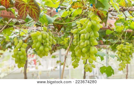 Green grapes in grape garden or vineyard. Green grapes with green leaf. Green grape vineyard in sunshine day. Ripe green grape for health or diet with vine