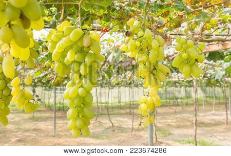 Green grapes in grape garden or vineyard. Green grapes with green leaf. Green grape vineyard in sunshine day. Ripe green grape for health or diet