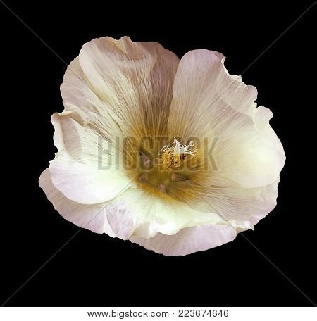 White-pink-yellow flower  mallow  on the black  isolated background with clipping path  no shadows.   For design.   Closeup.  Nature.