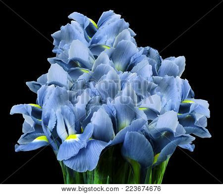 A bouquet of spring flowers of  light blue irises on the black  isolated background. Close-up. Nature.