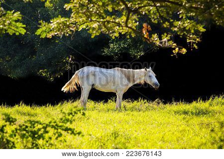 White horse walking tricky in the lawn.