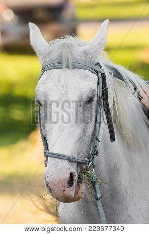 Beautiful white horse raised in the lawn.