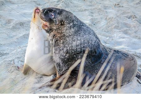 Australasian fur seal on the land and in the ocean, Otago, New Zealand