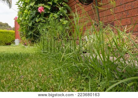 Grass overgrown at the edge of the lawn. Overgrowing the pine sleeper which is being used to edge the lawn aera.
