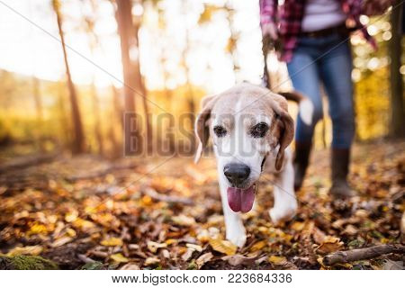 Unrecognizable active senior woman with dog on a walk in a beautiful autumn forest.