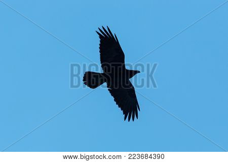 silhouette of northern raven bird (corvus corax) in flight, blue background