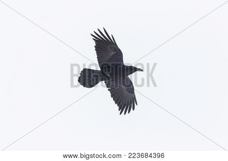portrait of natural northern raven (corvus corax) in flight with snow on beak