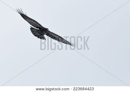 portrait natural flying northern raven (corvus corax) spread wings, white background