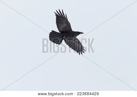 natural flying northern raven bird (corvus corax) spread wings, white background