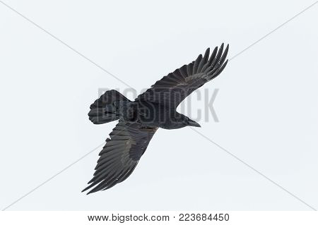portrait of natural flying isolated northern raven (corvus corax)