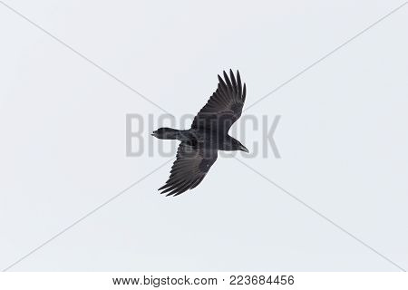 isolated natural northern raven (Corvus corax) in flight