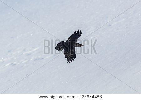 portrait of natural northern raven (Corvus corax) in flight, snow, winter
