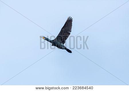 natural great cormorant bird (phalacrocorax carbo) in flight, spread wings