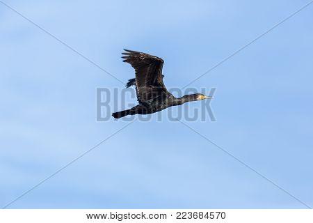 flying great cormorant bird (phalacrocorax carbo), blue sky, spread wings