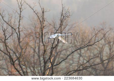 one natural mute swan (cygnus olor) in flight, leafless tree, spread wings