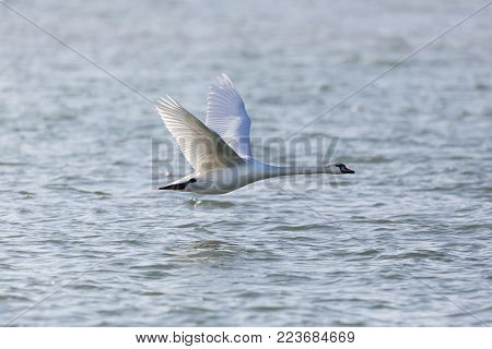 one natural mute swan bird (cygnus olor)  flying over blue water surface