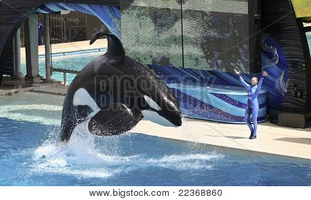 A Killer Whale And Trainer Perform In An Oceanarium Show
