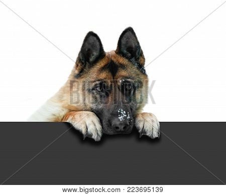 German shepherd dog peeking out through the grey fence. Muzzle German shepherd. Isolated on a white background.